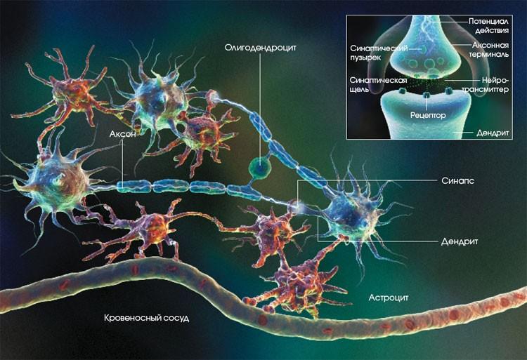 Наши нервы – это соединенные в жгуты аксоны, из которых состоит периферийная нервная система организма.
